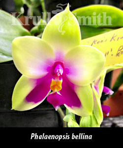 Phal. bellina ('Krull's Perfection', FCC/AOS x 'Krull's Prince', AM/AOS)