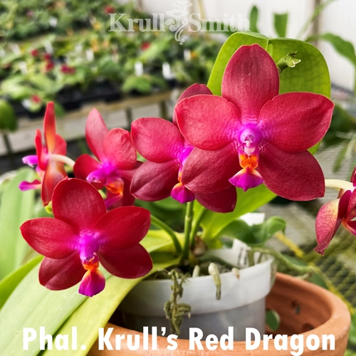 Phal. Krull's Red Dragon