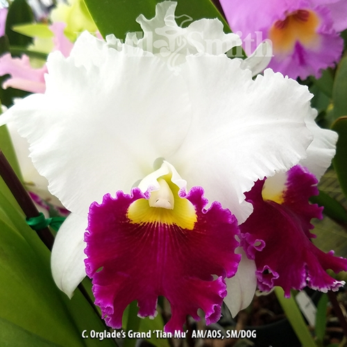 Cattleya Orglade's Grand 'Tian Mu' AM/AOS