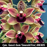 Cym. Geno's Gem 'Emerald Fire', AM/AOS
