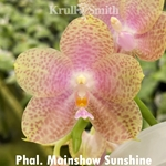 Phal. Mainshow Sunshine