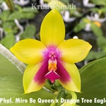 Phal. Miro Be Queen 'Cheng' x Dragon Tree Eagle 'RED'