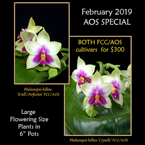 AOS February 2019 FCC/AOS Phal. bellina Combo Special